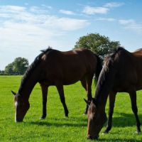 Grass Seed Mixtures » Horse and Pony Paddock Grass Seed