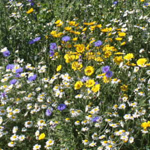 Wildflower Restoration Mixture 100% Wildflower Seeds