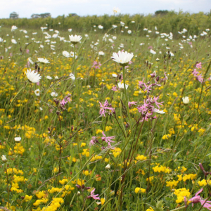 Wildflower Meadow Mixture Seeds - Wet Loam product image