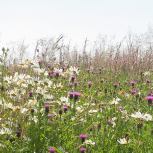 Wildflower Meadow Mixture Seeds - Chalk and Limestone 80/20