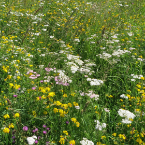 Wildflower Meadow Mixture Seeds - Clay 80/20