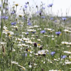 All Purpose Mixture 100% Wildflower Seeds image