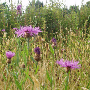 Wildflower Meadow Mixture Seeds - Acidic 80/20