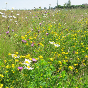Wildflower Meadow Mixture Seeds - Dry Loam product image