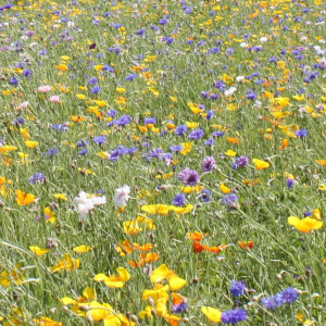 Bees and Butterflies 100% Wildflower Seeds. Annual mixture image