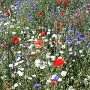 Red, White and Blue Mixture 100% Wildflower Seeds product image