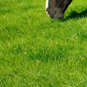 Premium Herbal Paddock Grass Seed - Without Ryegrass