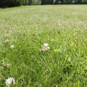 Eco-Clover Grass Seed