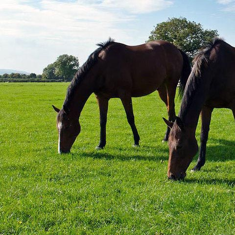 Horse and pny paddock grass seed